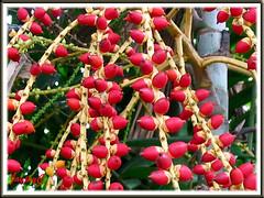 Ptychosperma macarthurii (Cluster Palm, Macarthur Palm): close-up of ripened fruits