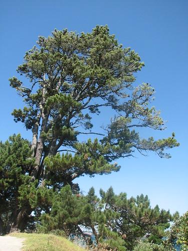 Tree on Mauao