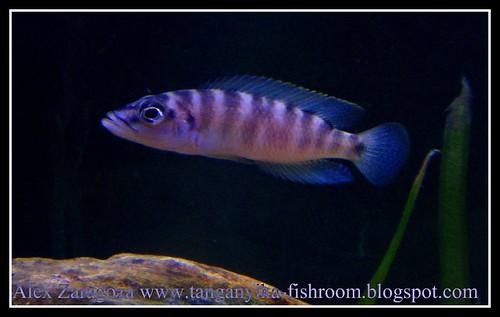 N.Fasciatus 1