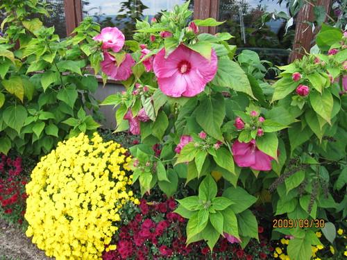 Ibisco hibiscus rosa sinensis notizie in vetrina for Ibisco in inverno