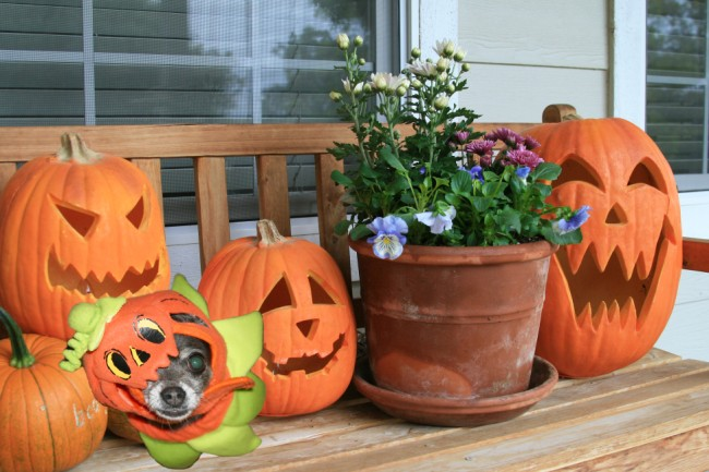molly_in_pumpkins (650 x 433)