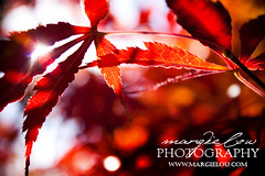 (MargieLou.com) Tags: red orange fall leaves flare sunflare