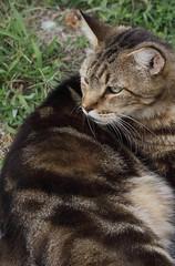 "IMG_3191C_2 (Just George 2) Tags: cats green cat eyes feline chat tabby kitty greeneyes gato kitteh bobby katze gatto gs kedi minou matou eartufts canonef100mmf28macrousm ""ear velvetpaws canoneos5dmarkii tuftedears tufts"""