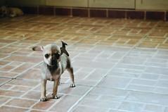 http://valentina365.blogspot.com/ (*puchivida*) Tags: dog chihuahua project puppy curioso perro cachorro 365 perrito bicolor proyecto peculiar