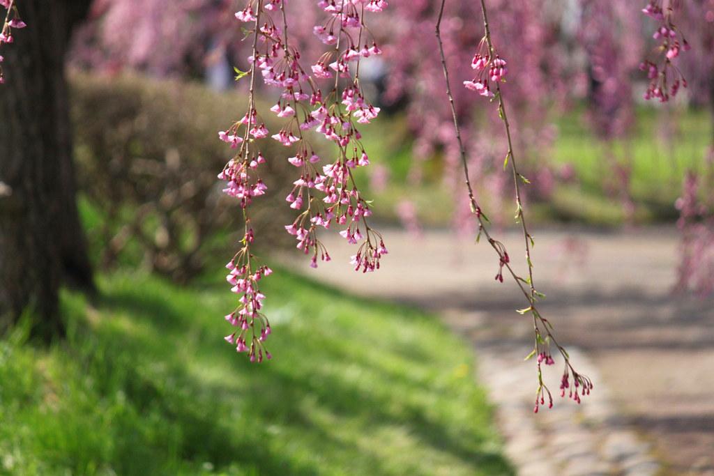 Hirosaki Park Sakura (21)