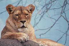 lioness wm (joeykttn) Tags: animal animals cat zoo lion bigcat cannon syracuse lioness rosamondgiffordzoo 550d t2i rosemondgiffordzoo flickrbigcats