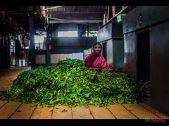Inside Tea factory, Coonoor (acharya_mr) Tags: people candid women india tea factory coonoor ooty green