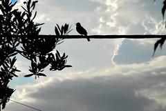 Kos (roksoslav) Tags: postira brač croatia 2008 nikon d80 sigma18125mm blackbird
