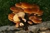 Flammulina velutipes, la collybie à pied velouté. (chug14) Tags: champignon fungus physalacriaceae physalacriacées collybieàpiedvelouté pattedevelours enoki collybiavelutipes gymnopusvelutipes myxocollybiavelutipes panaeolusvelutipes phylloporusvelutipes pleurotusvelutipes flammulinavelutipes