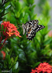 Nectar and blossoms (docjabagat) Tags: flower green butterfly garden nectar