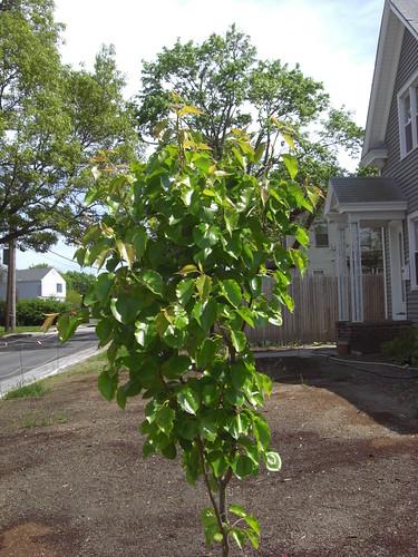 Growing pear tree