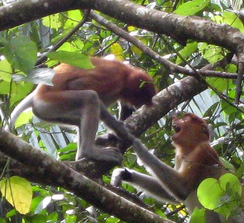 Young Proboscis Monkeys arguing