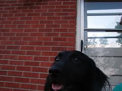 lucky head shot of abby (way opening) Tags: dogs headshot lexingtonky
