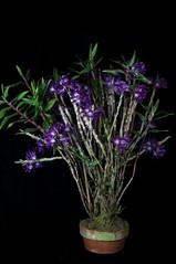 Dendrobium victoria-reginae 'True Blue' (Eric Hunt.) Tags: sanfrancisco california blue orchid flower purple orchidaceae dendrobium dendrobiumvictoriareginae 20093010 dendrobiumvictoriareginaetrueblue