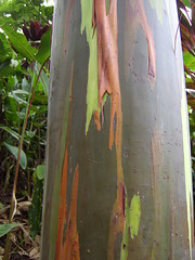 Rainbow Trees, Maui (AJ & Kell-Kell) Tags: hawaii maui rainbowtree