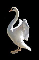 Swan (add2lines) Tags: bird nature animal swan goldstaraward