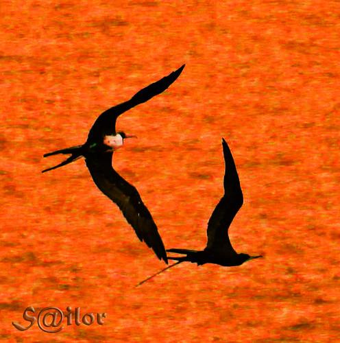 """Love in the Air """"Frigate Birds"""""""