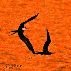 "Love in the Air ""Frigate Birds"" (S@ilor) Tags: love gulfofmexico birds barco ship florida dusk air flight explore pirate frigate seabirds tortugas drytortugas mignon thecaribbean frigatebirds fregate top20birdshots fregata fregatidae diamondclassphotographer silor frigatepelican piratebirds loveintheairfrigatebirds manofwarbirds"