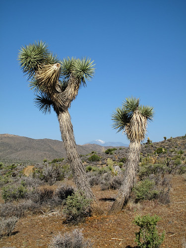 Joshua Trees by you.