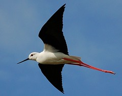 Pernilongo / black-winged stilt (anacm.silva) Tags: portugal nature aves salinas ave aveiro pernilongo salines blackwingedstilt riadeaveiro salinasdeaveiro marinhadatroncalhada aveirosalines