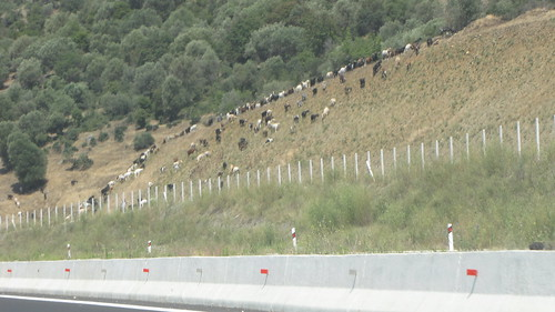 Goats along the highway