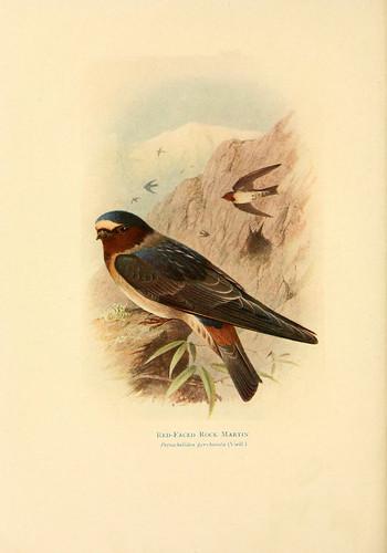 018- Golondrina del acantilado-Birds of La Plata  1920