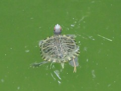 でかいミドリガメ