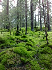 Mossy! (Bagatell) Tags: wood trees green forest moss norwegian smushy