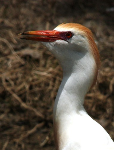 Cattle Egret - 6/3/2009