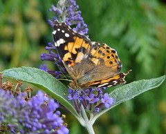 Painted Lady (Colin'sPic's) Tags: butterfly insect paintedlady buddliea