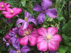 Clematis viticella (the vintage cottage) Tags: clematis englishgarden cottagegarden