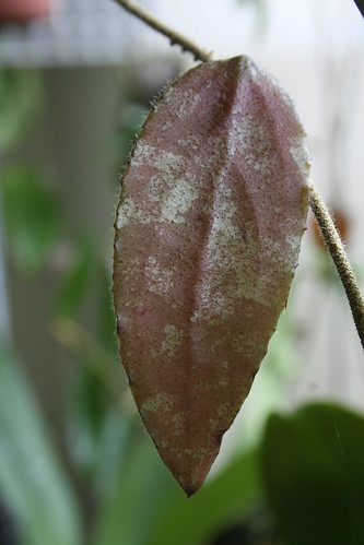 Hoya caudaya new leaf