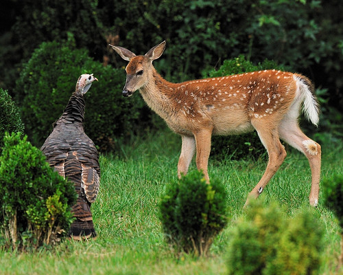 Confrontation: Fawn and Turkey