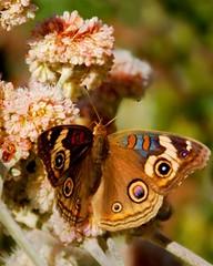 Buckeye on buckwheat flowers (wolfpix) Tags: butterfly nikon butterflies lepidoptera papillon borboleta botanicgarden mariposa botanicalgarden buckwheat farfalla virg schmetterling vlinder   papillons kwiat commonbuckeye   junoniacoenia  kvt   nikond60 mekar    blomstre eriogonumcinereum     mamulaklak  ashleafbuckwheat