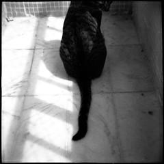 Rabo de Gato / Cat Tail (Andr Corra) Tags: cats film analog cat analgica feline gatos gato gata felinos felino filme emulsion gatas analgico lomografia felidae andrcorra emulso dianafsnowcat lomographic120mm100isopb queimandofilme httpwwwqueimandofilmecom qfeass