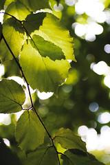 hazel (Eyes of the Muse) Tags: light color macro verde green oregon digital canon groen canon20d vert depthoffield hazel springfield grn makro  hazelnut filbert      bokah leafleaves     ivyhutchison