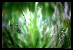 Hoy, abstracto...... (annibel) Tags: verde green nikon abstracto 2009 espigas d60 nikond60 annibel goldstaraward miasbest annibel2009