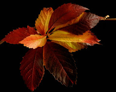 Multi coloured Autumn leaves (Tuppence 2009) Tags: autumn red orange leaves yellow legacy tistheseason bej fineartphotos anawesomeshot theunforgettablepictures dragondaggerphoto magicunicornverybest selectbestexcellence newgoldenseal sbfmasterpiece