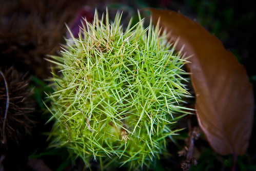 Spikey Chestnut Shell