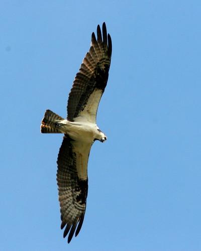 Osprey Overhead20091028