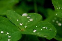 shamrocks, sprinkled with diamonds... (just call me Mr Lucky) Tags: green luck raindrops shamrocks 2009 october30 natureycrap