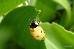 Marienkfer, nicht genau bestimmt (HITSCHKO) Tags: ladybird insekten kfer marienkfer coccinellidae ntzlinge