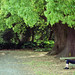 巨木の新緑
