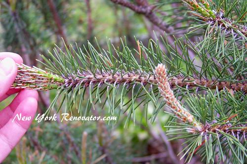 Good Pine