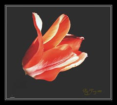 Float like a butterfly, oooppps a Tulip (The b flats/Boni) Tags: red flower nature tulip onblack