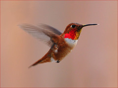 Male Rufous Hummingbird (champbass2) Tags: california red male bird nature northerncalifornia garden buzz wings backyard nikon colorful hummingbird wildlife myworld feisty 70300 rufous rufoushummingbird naturesfinest brillant d90 champbass2