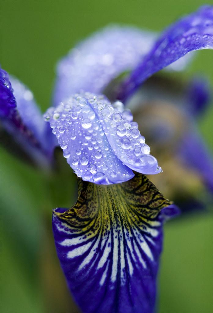 Iris Stacked