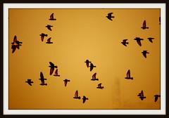 Perfect Freedom (Mumu24) Tags: sunset golden flockofbirds ultimateshot canoneos40d theunforgettablepictures platinumheartaward platinumpeaceaward