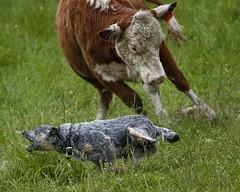 Sydney_R5W2502 (zingpix) Tags: blue usa dog jeff washington all cattle  australian rights queensland reserved heeler blueheeler herding allrightsreserved zingpix jeffjaquish jaquish