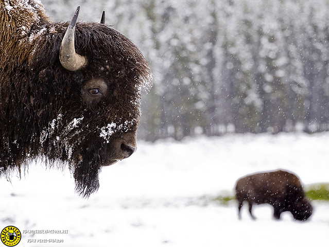 yellowstone_wildlife_0136